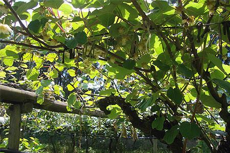 Terreni Kiwi Tre Castelli