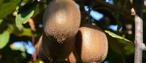 Produzione kiwi biologici