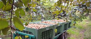 produzione kiwi verona
